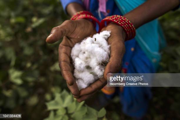 a farmer displays cotton bolls for a photograph - cotton harvest stock pictures, royalty-free photos & images