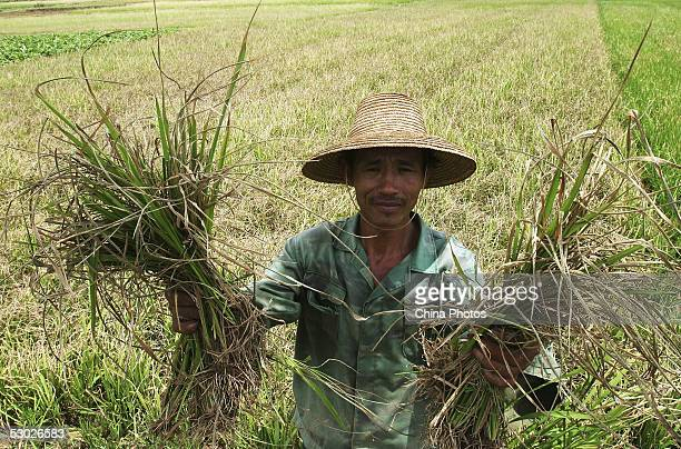 A farmer displays his withered crops at his field on June 2 2005 in Leizhou of western Guangdong Province southern China According to Guangdong...