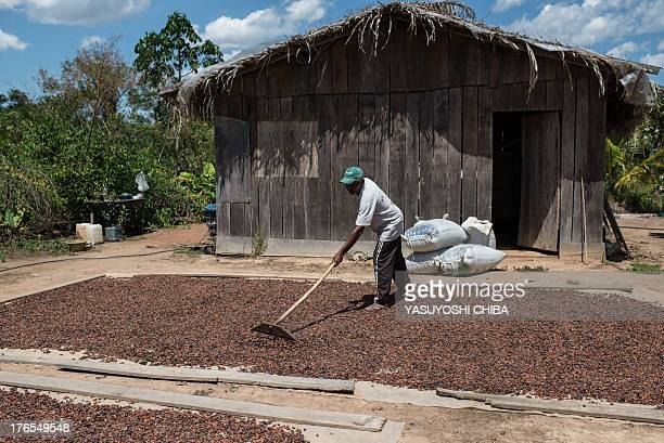 A farmer dries cacao beans in Sao Felix do Xingu Para state northern Brazil on August 7 2013 AFP PHOTO / YASUYOSHI CHIBA