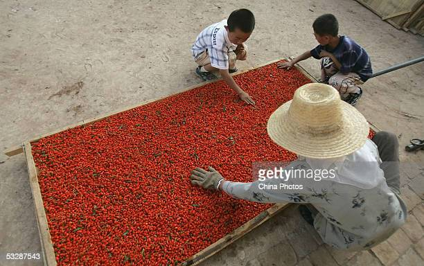 A farmer dries harvested medlars in the sun with the help of two young boys at a medlar farm on July 24 2005 in Tongxin County of Ningxia Hui...