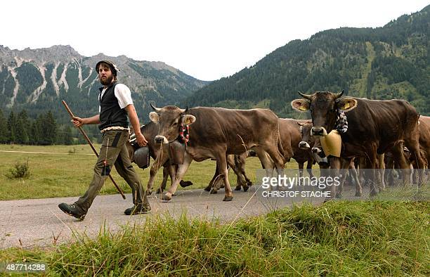 A farmer drives the cattle downhill from the Alps during the socalled Viehscheid drive on September 11 2015 near the village of Bad Hindelang...