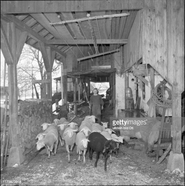 Farmer driving sheeps into barn 1950
