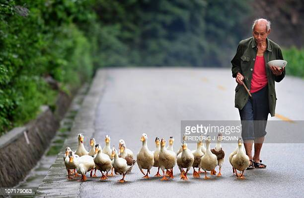 A farmer eats his lunch while following his flock of ducks along a country road in Guangyuan County on August 13 2010 in northern Sichuan province...