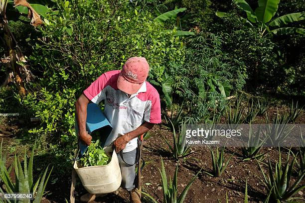 A farmer empties Coca leaves into a plastic container in a farm in the small village of Vereda La Heroica on December 28 2016 in Corinto Colombia Due...
