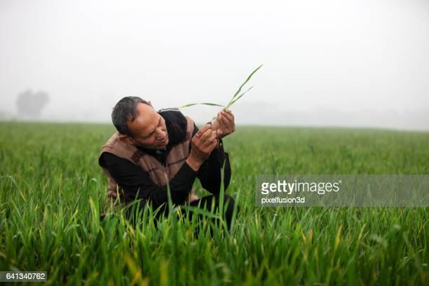 Granjero de examinar el cultivo de trigo en el campo