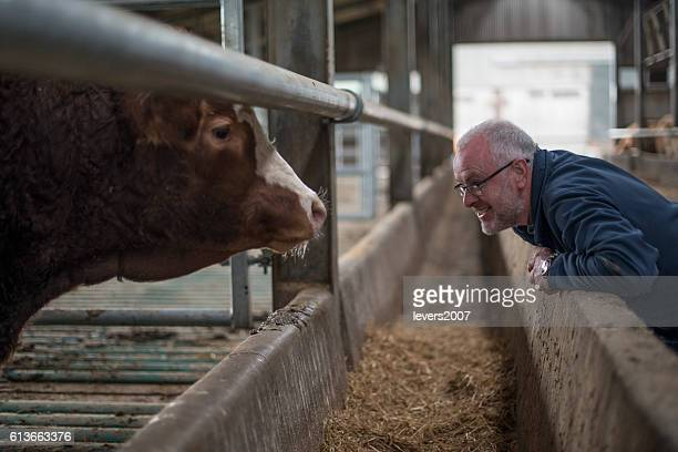 Farmer examining his herd