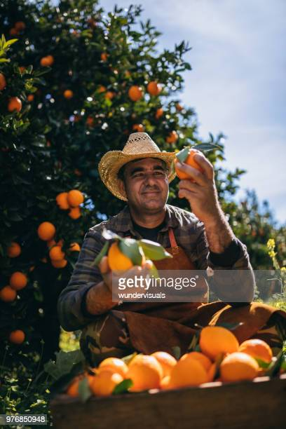 farmer examining oranges produce in orange orchard during harvest period - tree man syndrome stock photos and pictures