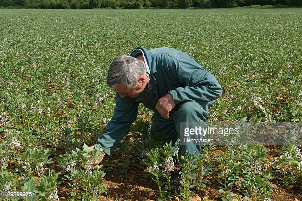 Farmer examining plants in field