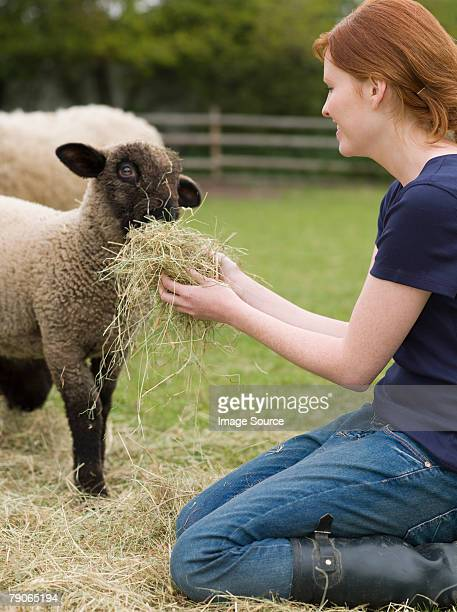 a farmer feeding a lamb - lamb animal stock photos and pictures