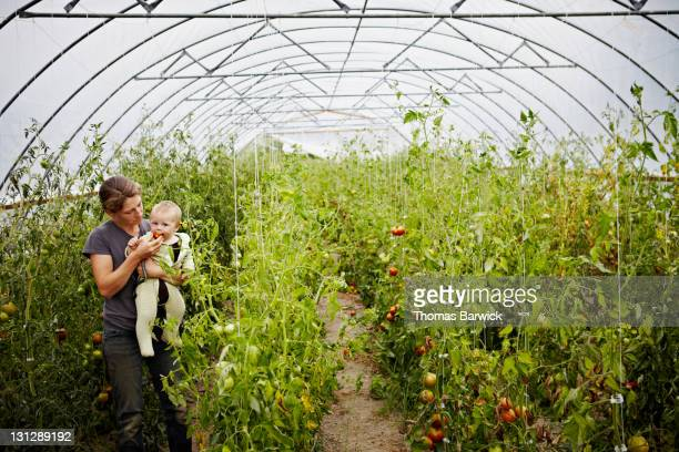 Farmer feeding baby organic tomato in greenhouse