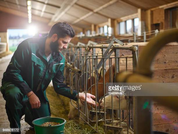 Farmer feeding calf in stable on a farm