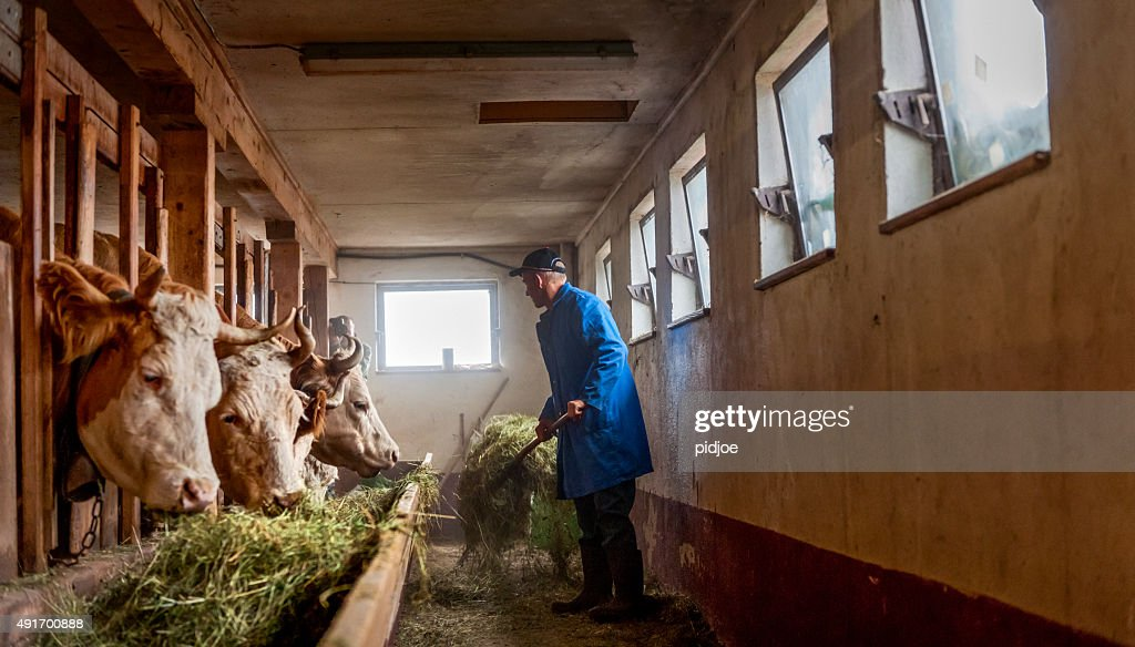 farmer feeding cows hay  in barn : Stock Photo