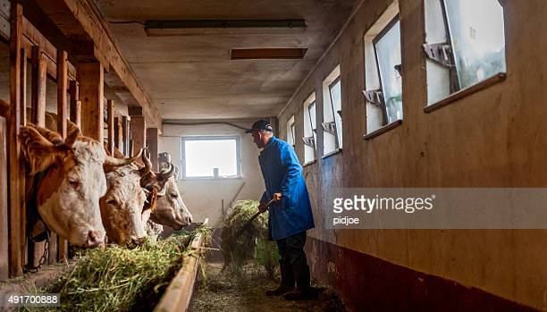 farmer feeding cows hay  in barn