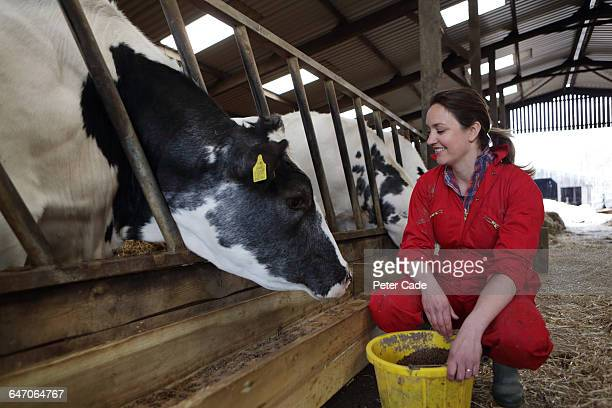farmer feeding cows in barn - prosperity stock pictures, royalty-free photos & images