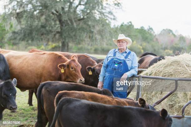 Boer voeding koeien in veld