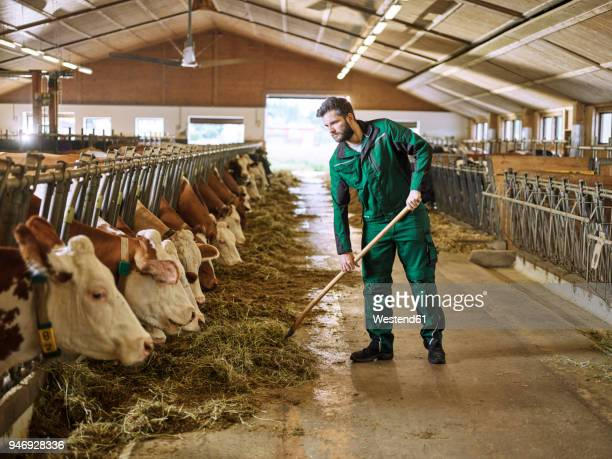 farmer feeding cows in stable on a farm - herbivorous stock pictures, royalty-free photos & images