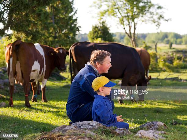 A farmer feeding cows in the pasture Sweden.