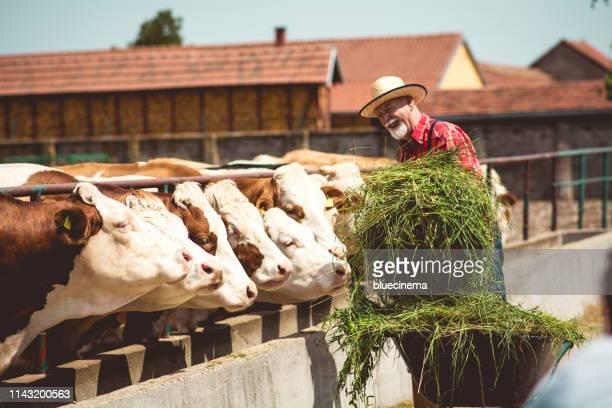 landwirt füttert kühe - landwirtschaftliche tätigkeit stock-fotos und bilder