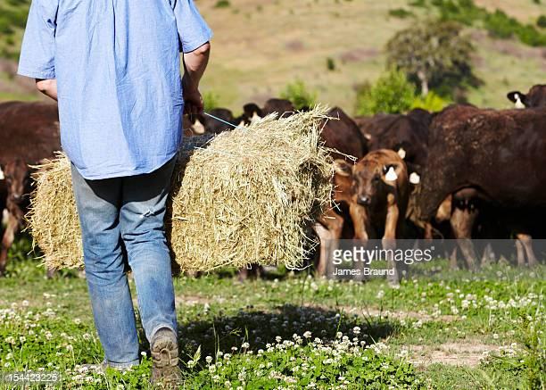 Farmer feeding hay to cows used for Wagyu beef