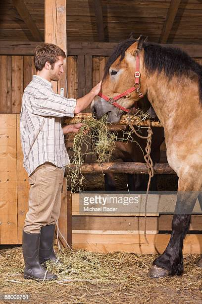Farmer feeding hay to horses in stable, side view