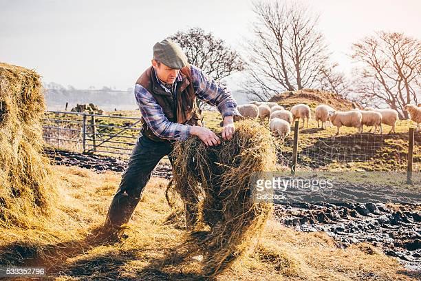 Farmer Feeding the Sheep