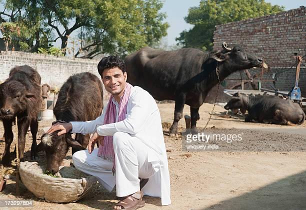 Farmer feeding Water Buffalo (Bubalus Bubalis) calfs, Sonipat, Haryana, India