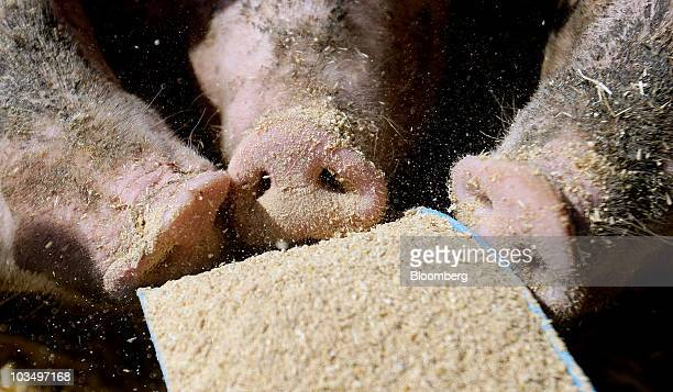 Farmer Fergus Howie feeds a litter of White Cross Landrace piglets at his farm in Maldon UK on Thursday Aug19 2010 Wheat climbed for a third day as...