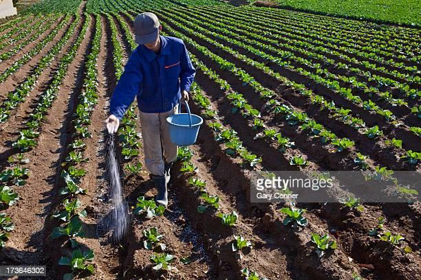 Farmer fertilizes cabbage plants