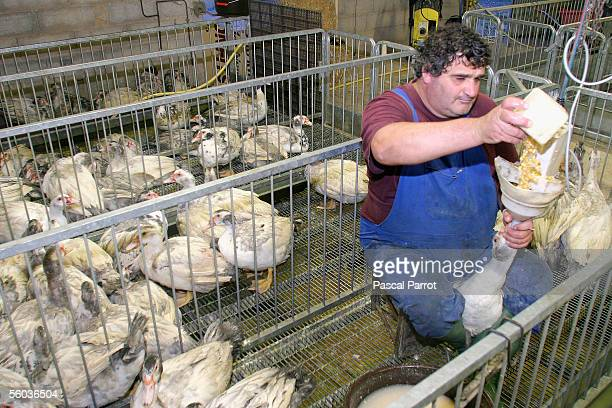 A farmer forcefeeds grain to a duck on October 30 2005 in Montoulieu southern France as part of the traditional process to fatten its liver for foie...