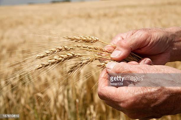 Landwirt Inspektion Weizen im Vordergrund, Feld im Hintergrund. Hände. Ernte.