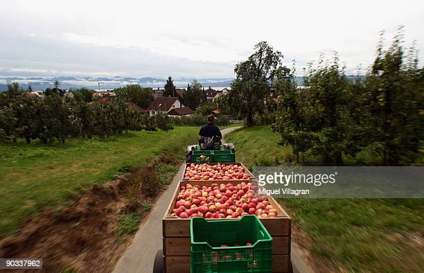 Farmer Franz Krammer drives fresh apples towards his refrigerated containerduring the apple harvest next to the lake Constance on September 4 2009 in...