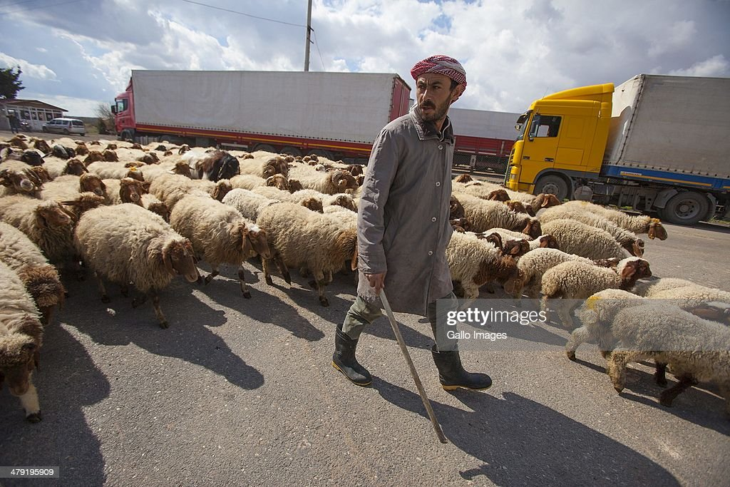 A farmer from a nearby farmer leads his sheep between the trucks, across the road to graze on March 12, 2014, in Killis City, Turkey. Truck drivers at the Turkish/ Syrian border near Kilis City wait 10-15 days to get their good through to the customs area where Syrian truckers can take the load to Syrian towns.