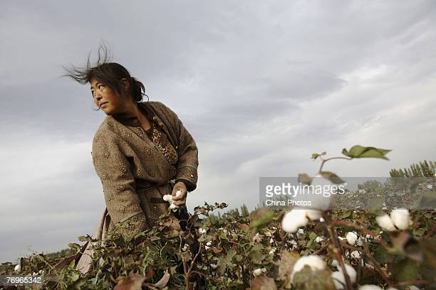Farmer from Henan Province picks cotton in a cotton field on September 22, 2007 in Shihezi of Xinjiang Uygur Autonomous Region, China. About one...