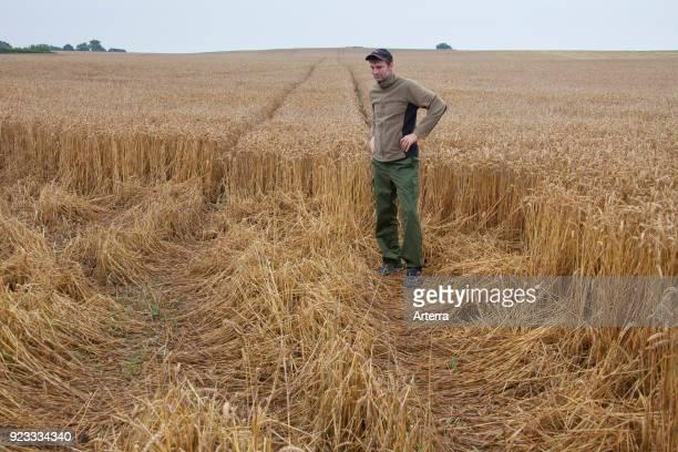 Farmer game keeper inspecting damage in wheat field cornfield cereal field done by feeding wild boars in summer
