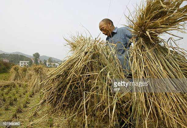 A farmer gathers bundles of dried stalks of millet on fields which blanket the Hunan province landscape 29 October 2004 in rural Shaoshan Inflation...