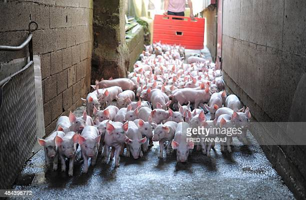 A farmer gathers piglets in a livestock farm in Locronan western France on August 18 2015 French pig farmer JeanJacques Louboutin 37 years old will...