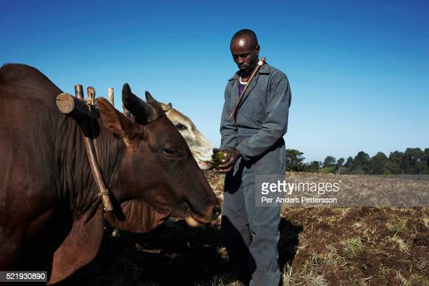 A farmer gives coffee mixed with leaves to his cattle on his farm on December 11 2012 outside Bonga Ethiopia The Kaffa region is known for its coffee...