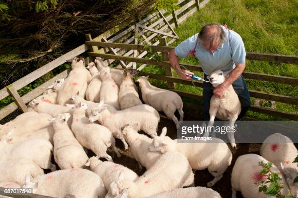Farmer giving lambs a worm drench to protect them against parasites Kendal Cumbria