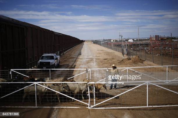 A farmer guides cattle walking from Mexico into the United States through the Santa Teresa International Livestock Crossing along a border fence that...