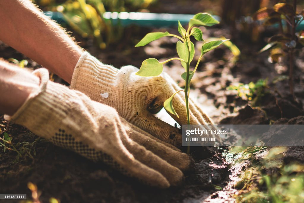 farmer hands take care and protect young little sprout plant in the soil ground : Stock Photo