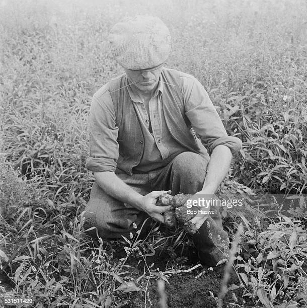Farmer Harrison inspects potatoes and barley ruined by blight in Fenland Cambridgeshire 26th August 1958