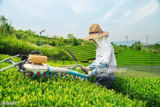 Farmer harvesting a crop of green tea leaves