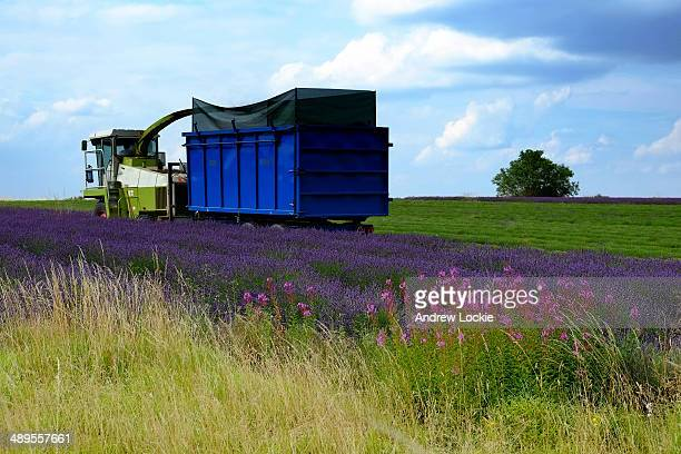 Farmer harvesting a field of lavender in the Cotswolds region of England. The image was taken near the village of Snowshill.