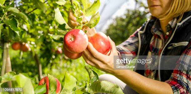 farmer harvesting apples - apple harvest stock pictures, royalty-free photos & images