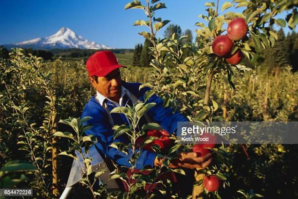 Farmer Harvesting Apples
