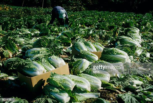 Farmer harvesting Chinese cabbages