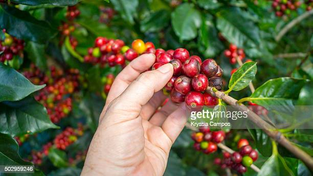 Farmer harvesting coffee beans