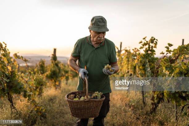 farmer harvesting grape in vineyard - serbia stock pictures, royalty-free photos & images