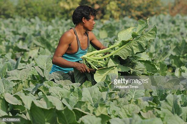 A farmer harvesting his cauliflower crops on November 19 2016 in Noida India Farmers report a steep fall in vegetable wholesale prices since the...