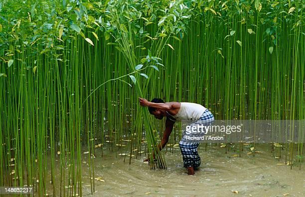 Farmer harvesting jute.